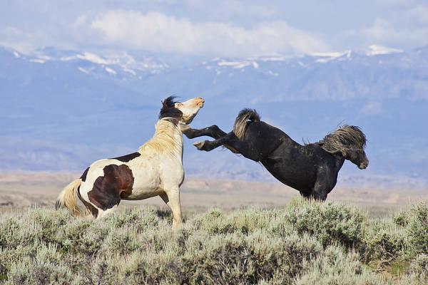 Photograph - Mountain Mustangs by D Robert Franz