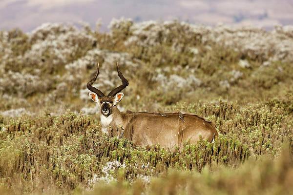 Ruminant Photograph - Mountain Nyala In Bale Mountains by Martin Zwick