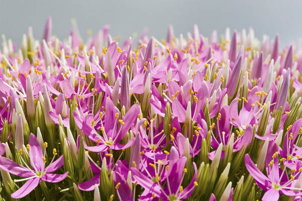 Photograph - Mountain Pink Flowers And Buds by Steven Schwartzman