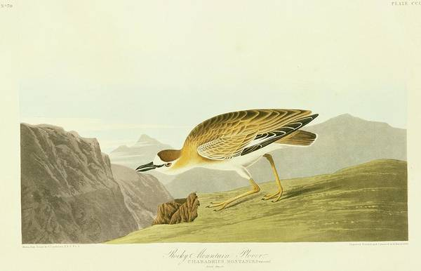 Wall Art - Photograph - Mountain Plover by Natural History Museum, London/science Photo Library