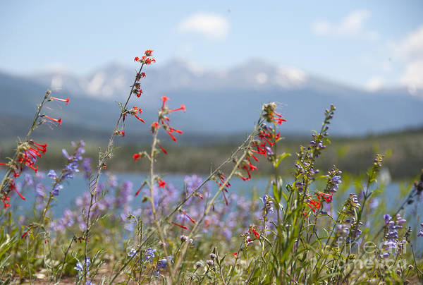 Botanic Photograph - Mountain Wildflowers by Juli Scalzi