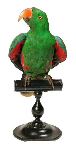 Eclectus Parrots Photograph - Mounted Eclectus Parrot by Natural History Museum, London/science Photo Library