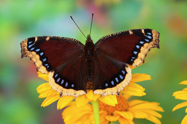 Zinnia Wall Art - Photograph - Mourning Cloak Butterfly, Nymphalis by Darrell Gulin