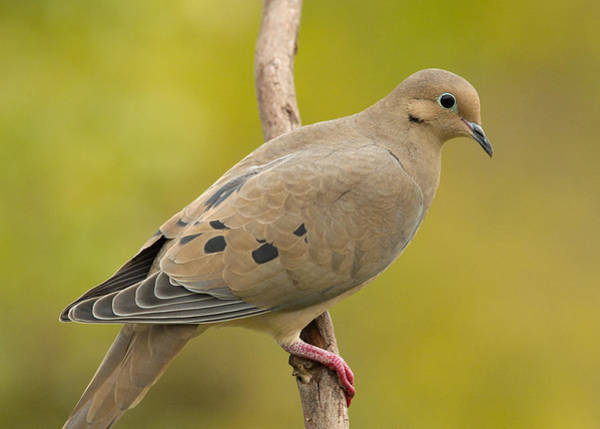Wall Art - Photograph - Mourning Dove by Doug Herr