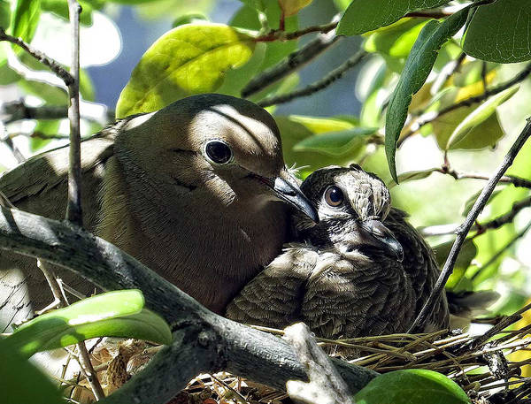 Photograph - Morning Doves Mom And Babe by Kurt Van Wagner