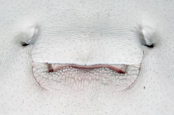 The Maldives Photograph - Mouth Of A Marble Ray by Scubazoo/science Photo Library