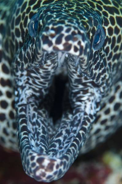 Wall Art - Photograph - Mouth Of Honeycomb Moray by Science Photo Library