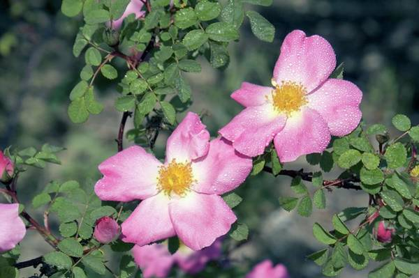Rose In Bloom Photograph - Moyesii Rose (nevada) by Brian Gadsby/science Photo Library