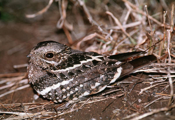 Wall Art - Photograph - Mozambique Nightjar by Tony Camacho/science Photo Library