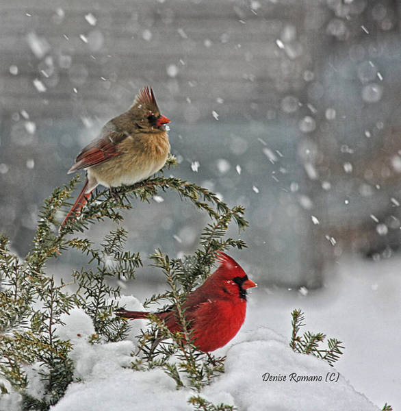 Female Cardinal Photograph - Mr. And Mrs. Cardinal by Denise Romano