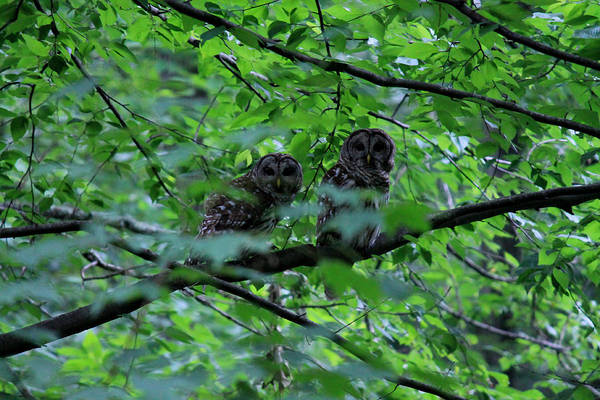 Photograph - Mr And Mrs Owl by Lily K