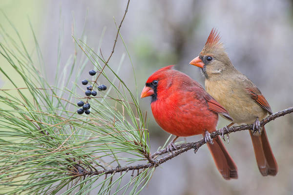 Female Cardinal Photograph - Mr. And Mrs. Redbird In Pine Tree by Bonnie Barry