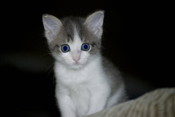 Wall Art - Photograph - Mr Blue Eyes Kitty by Thomas Woolworth