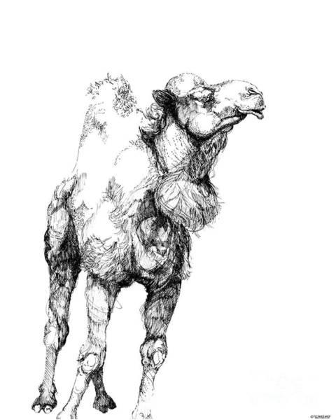 Drawing - Mr Camel To You by Lizi Beard-Ward