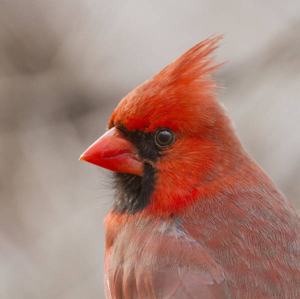 Wall Art - Photograph - Mr Cardinal Portrait by Mircea Costina Photography
