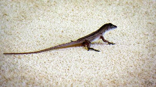 Photograph - Mr. Gecko by Pennie McCracken