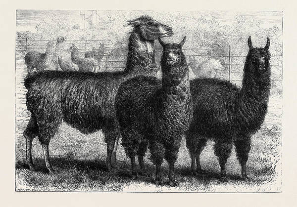 New South Wales Drawing - Mr. Ledgers Alpacas And Llamas At Sophienburg The Seat Of Mr by English School