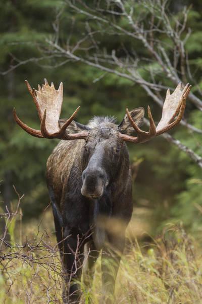 Photograph - Mr. Moose by D Robert Franz