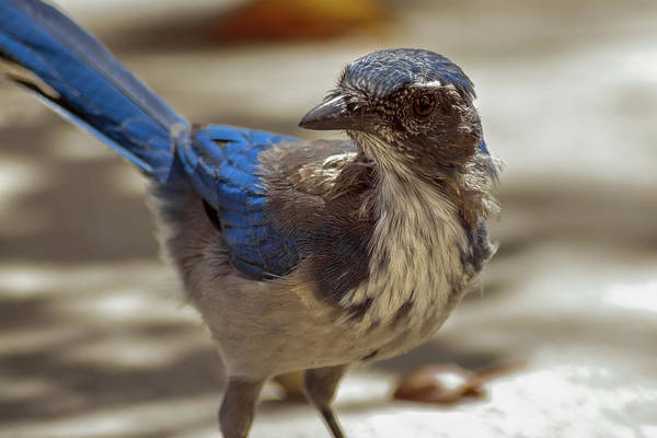 Scrub Jay Photograph - Mr. Scrub Jay by Caitlyn  Grasso