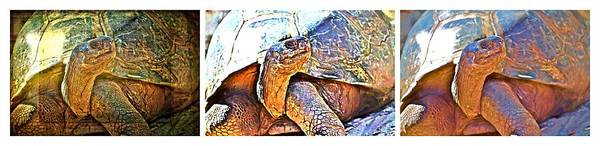 Photograph - Mr. Tortoise Triptych by Alice Gipson