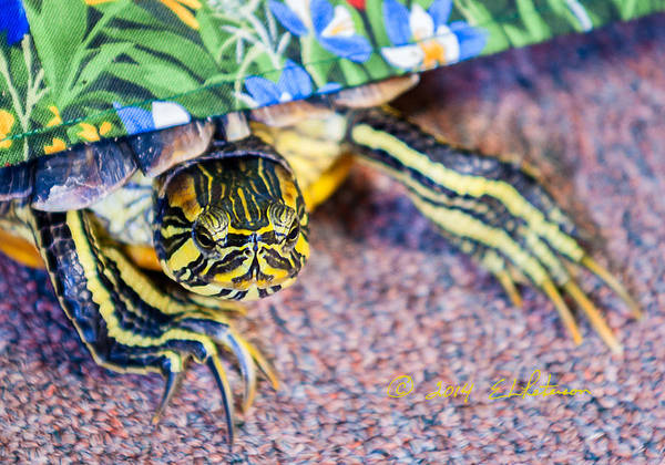 Photograph - Mr. Turtle Excapes by Edward Peterson