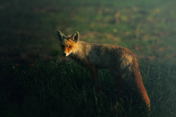 Wild Grass Photograph - Mr.fox by Sina Pezeshki