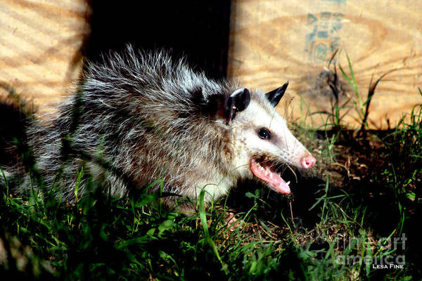 Photograph - Mr. Possum by Lesa Fine
