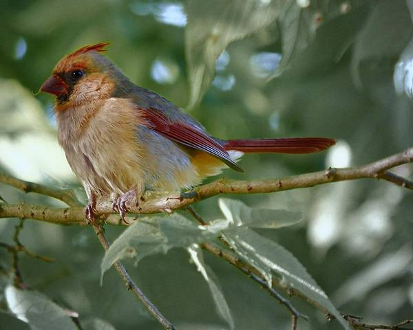 Photograph - Mrs. Cardinal by John Feiser