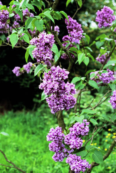 Wall Art - Photograph - Mrs Edward Harding Lilac Flowers by Adrian Thomas/science Photo Library