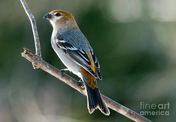 Pine Grosbeak Photograph - Mrs. Pine Grosbeak by Cheryl Baxter