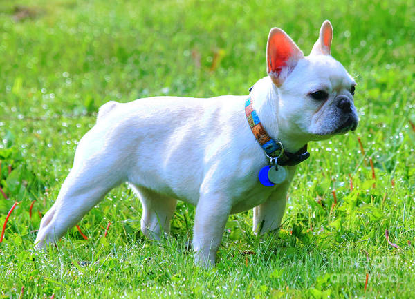 Photograph - Ms. Quiggly - French Bulldog by Tap On Photo
