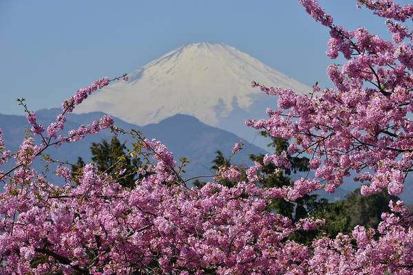 Branch Photograph - Mt Fuji And Cherry Blossoms by Photos From Japan, Asia And Othe Of The World