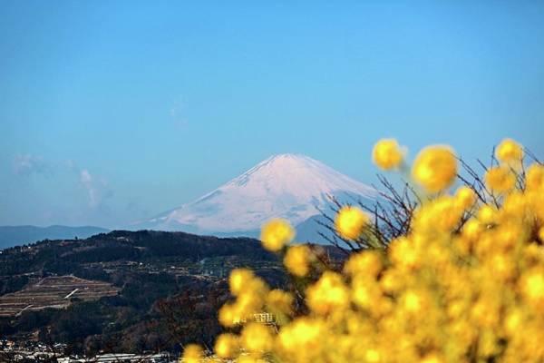 Scenery Photograph - Mt. Fuji And Rape Flower by Jun Okada