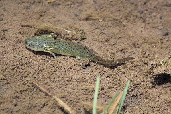 Photograph - Mud Puppy by Shane Bechler