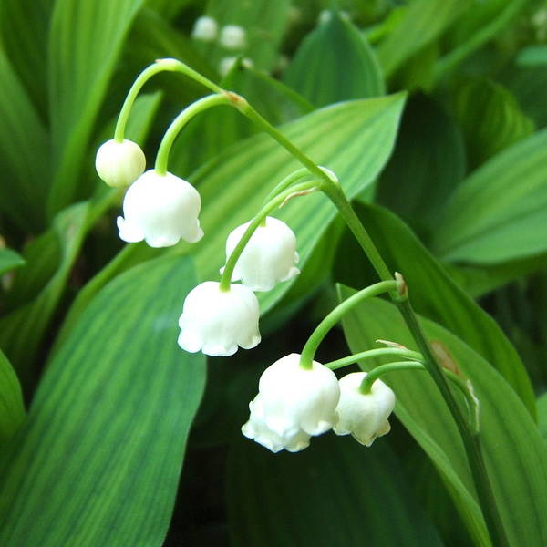 Photograph - Muguet by Marc Philippe Joly