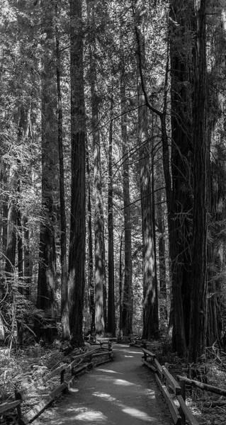 Muir Woods Giants Art Print