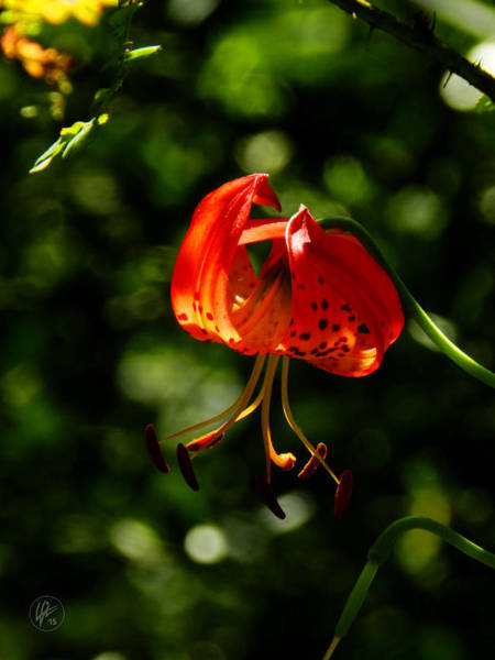 Photograph - Muir Woods Leopard Lily 001 by Lance Vaughn
