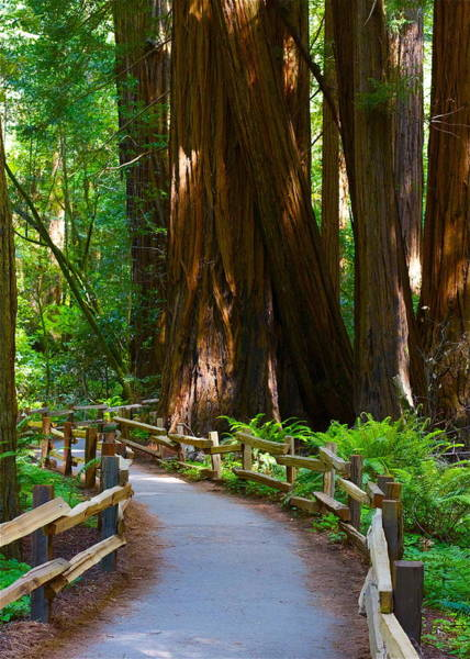 Redwood City Wall Art - Photograph - Muir Woods by Michael Blesius