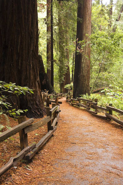 Photograph - Muir Woods Trail by Susan Leonard