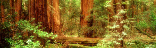Untouched Wall Art - Photograph - Muir Woods, Trees, National Park by Panoramic Images