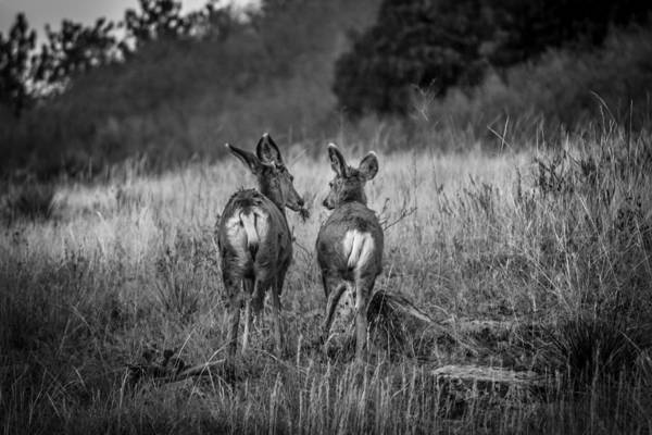 Photograph - Mule Deer Black And White by Karen Saunders