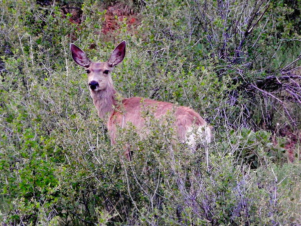 Photograph - Mule Deer by Dan Miller