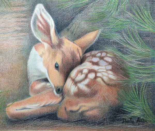 Drawing - Mule Deer Fawn by Dustin Miller