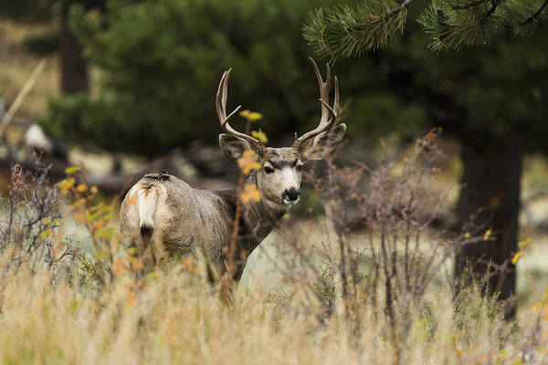Rockies Wall Art - Photograph - Mule Deer I by Chad Dutson