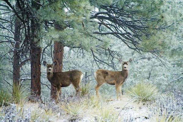 Photograph - Mule Deer In Heavy Snow by Steve Krull