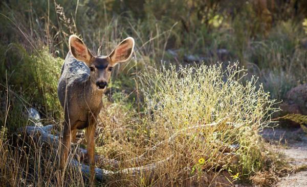 Mule Deer Photograph - Mule Deer by Jim West