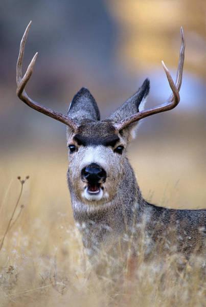 Wall Art - Photograph - Mule Deer Odocoileus Hemionus Buck by Animal Images