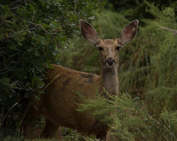 Mule Deer Photograph - Mule Deer On Alert 2 by Ernie Echols