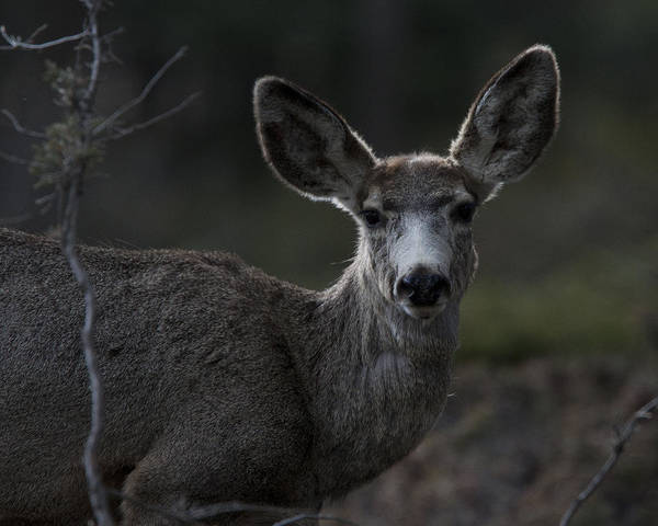 Photograph - Mule Deer by Tony Mills
