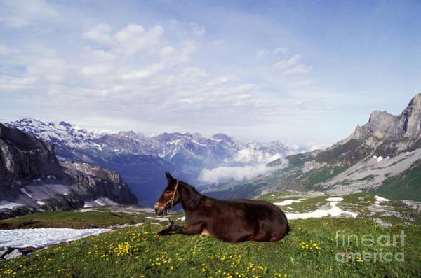 Photograph - Mule Lying Down In Alpine Meadow by Rolf Kopfle